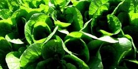 Выращивание и продажа пекинской капусты