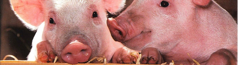 Бизнес план свинофермы с расчетами бизнес планы выращивание шампиньонов