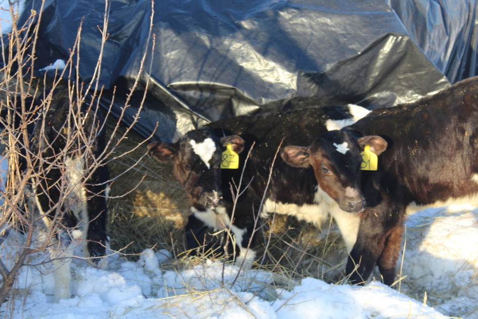 Выращивание бычков рентабельность 55